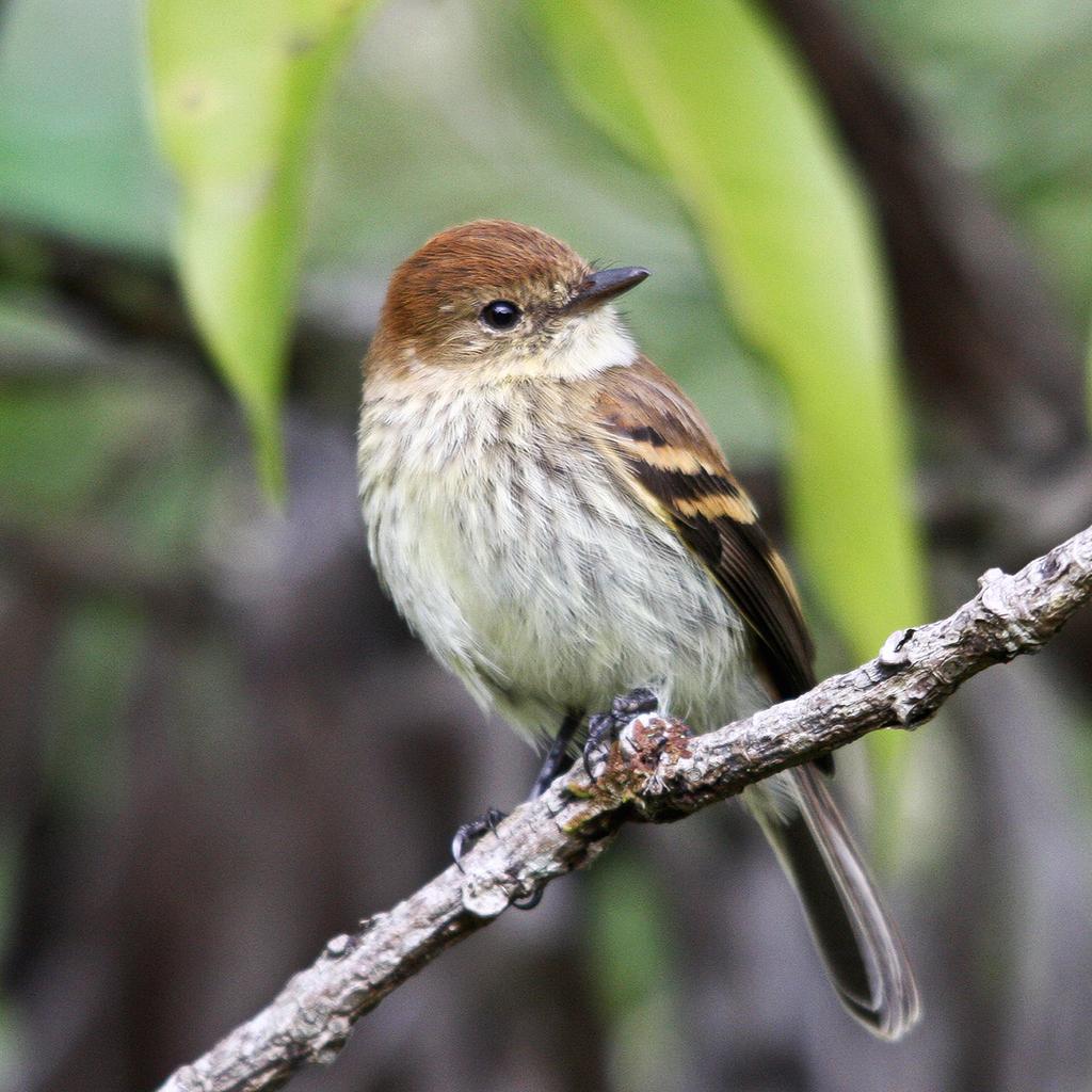 18 bran colored flycatcher claudiomarcio2 17 san vito bird club