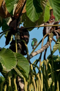 Green Honeycreeper in Cecropia tree