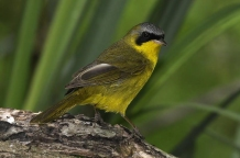 Masked Yellowthroat