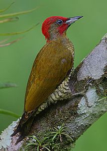 Rufous-winged Woodpecker-male