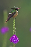 White-crested Coquette