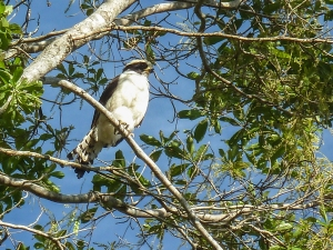 Laughing Falcon (Photo by Alison Olivieri)