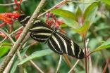 Heliconius charithonia charithonia