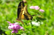 """Giant swallowtail"", Papillo cresphontes. Photo by Julie Girard."