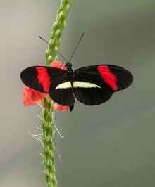Heliconius erato petiverana