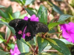 """""""Ruby-spotted swallowtail"""", Papillo anchisiades. Photo by Julie Girard."""