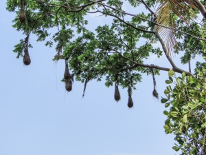 Oropendola nests. Photo by Monique Girard.