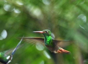 Rufous-tailed Hummingbird in flight. Photo by Julie Girard.