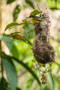Common Tody-Flycatcher at its nest. Photo by Harry Hull.