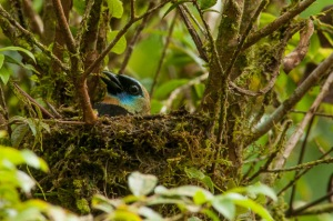 Golden-hooded Tanager at Finca Cantaros. Photo by Harry Hull.