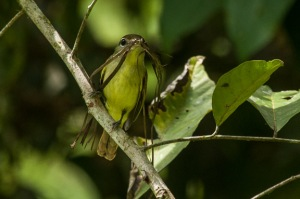 Female White-winged Becard carrying nesting material at Finca Cantaros. Photo by Harry Hull.