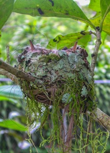 Two Rufous-tailed Hummingbird nestlings. Photo by Alison Olivieri.