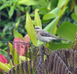 Tropical Mockingbird, Julie Girard's ace of trump. (Photo by Julie Girard)