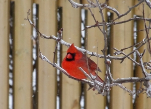 Northern Cardinal. Photo by