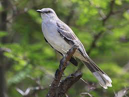 Mimus gilvus: Tropical Mockingbird.