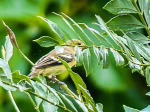 Lesser Goldfinch photographed by Jo Davidson.