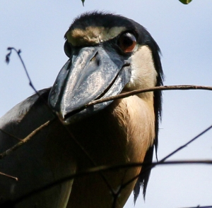 Boat-billed Heron, un chocuaco (photo by Jeff Worman).