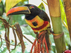 Fiery-billed Aracari, first class feeder bird. Photo by Terry Farling.