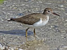 Spotted Sandpiper from Wikepedia.