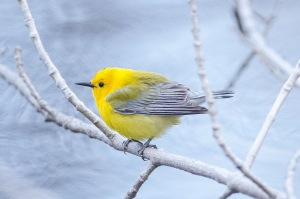 Prothonotary Warbler (photo by Bill XXXX).