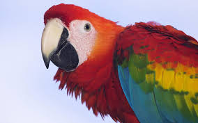 Scarlet Macaw from hgwallpaperscool.com