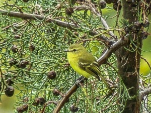 Photographed in Linda Vista by Jo Davidson, here is our Yellow Tyrannulet