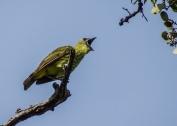 SVBC-gailhull-3704-Three-wattled Bellbird juvenile