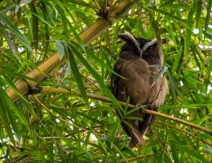 Lophostrix cristata, photo by Harry Hull.