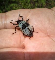 SVBC-alisonolivieri-20160502-beetle-R
