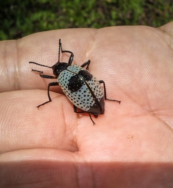 SVBC-alisonolivieri-20160502-beetle-R.jpg