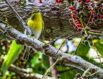 SVBC-gailhull-1184-Yellow-throated Vireo-R