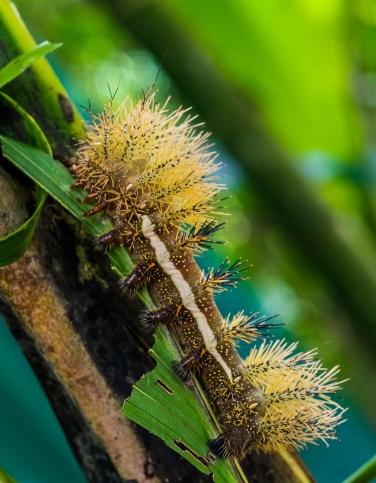 SVBC-harryhull-8926F-Automeris banus caterpillar-R