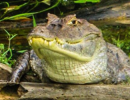 SVBC-greghomer-caiman-R