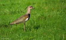 svbc-marvinblanco-southernlapwing