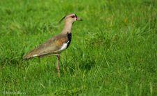 svbc-marvinblanco-southernlapwing