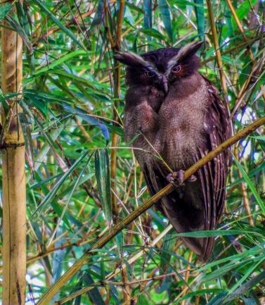 SVBC-gailhul-4275-crested owl-R