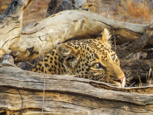 Leopard in the Manyeleti Reserve, South Africa. Foto de Alison Olivieri.