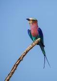 Lilac-breasted Roller in the Okavango Delta. Fofo de Alison Olivieri.