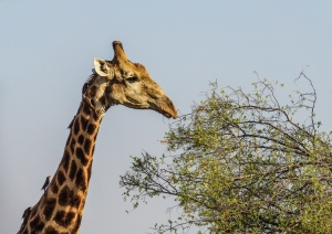 Cape Giraffe in Botswana, festooned with Red-billed Oxpeckers. Photo by Alison Olivieri.