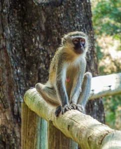 Vervet Monkey at Tintswalo Lodge. Foto de Alison Olivieri.