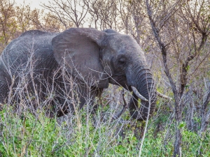 "African elephant. Locals call them ""ellies"". Photo by Alison Olivieri."