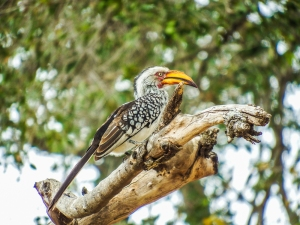 Southern Yellow-billed Hornbill, South Africa. Foto de Alison Olivieri.