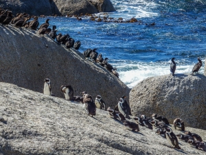 Jackass Penguins at Boulders Beach, South Africa. Photo by Alison Olivieri.