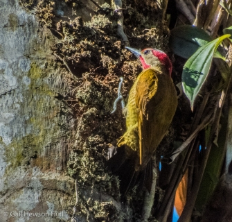 Golden-olive Woodpecker; photo: Gail Hull