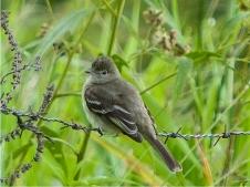 Lesser Elaenia, Elaenia chiriquensis (photo: Jo Davidson)