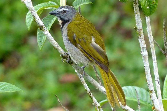 Buff-throated Saltator (Photo: Jo Davidson)